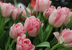 Na fotografi widać bukiet róż w kolorze różowym